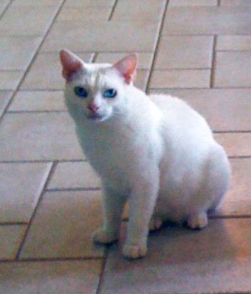 O personagem dessa história é Gorki, meu gato branco
